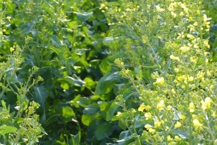 Begleitpflanzen Gesellschaft für konservierende Bodenbearbeitung Projektfeldtag